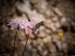 Buenas... (Luicabe) Tags: naturaleza planta animal exterior ngc flor luis escarabajo mariposa zamora cabello insecto hierba profundidaddecampo airelibre macrofotografia yarat1 enazamorado luicabe