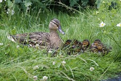 Wild mallard with new brood (Kay Musk) Tags: mallard duck ducklings wildlife wild waterfowl nature nikond3200 essex uk