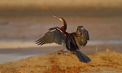Darter (Zahoor-Salmi) Tags: camera pakistan 2 macro nature birds animals canon lens photo tv google flickr natural action mark wildlife watch bbc 7d punjab discovery wwf salmi walpapers chanals beutty bhalwal zahoorsalmi