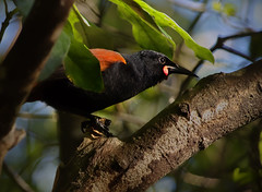 IMGP0208 Saddleback (Tieke) branch-hopping Zealandia Wellington NZ 03-07-16 (Donald Laing) Tags: new plants birds native zealand wellington sanctuary zealandia wwildlife