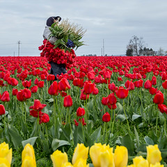 Tulip Picker (rahmivolkan) Tags: seattle flowers washington tulips pacificnorthwest pugetsound lonelyplanet pnw skagitvalley tulipfestival lale cicek bisiklet visitseattle lovetheworld thecoolhunter beautifuldestinations bbctravel ink361 passionpassport cntraveler mytinyatlas pnwonderland guardiancities livewashington guardiantravelsnaps huffpostgram tlpicks roamtheplanet whponthego