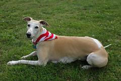 Patriotic (DiamondBonz) Tags: blue red dog pet white flag hound whippet spanky