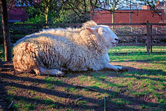 The Laughing Sheep (Jomak1) Tags: london jomak1 march 2016 farm cityfarm sheep hackney laughing sitting resting wool sun shadows