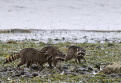 turning rocks (canopic) Tags: beach lowtide raccoons foraging eelgrass blakeislandwashington
