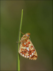 Pearl-bordered Fritillary  -  Explore (Grasping-air) Tags: