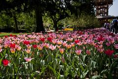 red tulips (gregork.) Tags: spring maj tulipan 2013 pomlad mozirje mozirskigaj