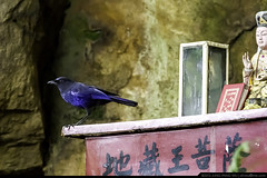 Taiwan Whistling Thrush (olvwu | ) Tags: blue mountain bird statue rock table temple god taiwan turdidae jungpangwu oliverwu oliverjpwu taiwanwhistlingthrush olvwu myiophonus myiophoneusinsularis jungpang newtaipeicity