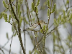 Definitely Not a Chiffchaff (jump for joy2010) Tags: uk flowers england nature birds wildlife somerset april swt catkins willowtrees phylloscopustrochilus somersetlevels 2013 somersetwildlifetrust catcottheath willowwarblers