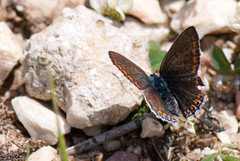 Blue body brown wings (quinet) Tags: blue orange brown butterfly bleu greece papillon braun blau griechenland grce brun 2012 schmetterling