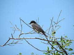 Eastern Kingbird - Missouri by SpeedyJR (SpeedyJR) Tags: nature birds wildlife missouri easternkingbird kingbirds augustabuschmemorialconservationarea speedyjr weldonspringmo