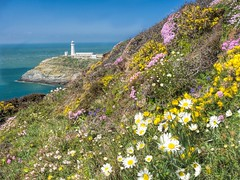 South Stack (petrova fossil :)) Tags: flowers lighthouse wales coast seaside flora cliffs wildflowers lighthousetrek olympusomd