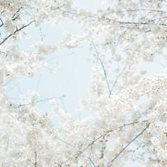 樱花 (richardhwc) Tags: flower 120 6x6 film rolleiflex mediumformat kodak sakura qingdao 35e planar carlzeiss portra400 75mmf35 coatingdegraded