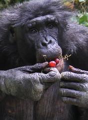 Snacks (Mark Dumont) Tags: animals zoo mark cincinnati primate grape bonobo dumont