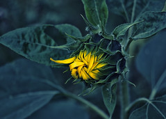 The first ray (megorgar) Tags: flower yellow nikon gelb sunflower nikkor blume sonnenblume 70210mm d7000