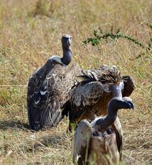 DSC_8565 (H Sinica) Tags: safari vulture masaimara maasaimara ruppellsgriffonvulture