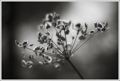 Nature:TNG (ShinyPhotoScotland) Tags: light blackandwhite plants sunlight blur art nature weather closeup composite manipulated lens photography scotland flora warm dof emotion unitedkingdom bokeh aspiration sunny places calm equipment filter zen glowing dreamy backlit dogwood pentacon simple toned contrasts portpatrick stacked seedpod lightanddark elegance cowparsley dumfriesandgalloway uplifting transience gbr digikam shapeandform rawconversion pentacon50mm sharpsoft enfuse timeflows naturehappens calmstill darktable photivo digitalorange digitallowpass