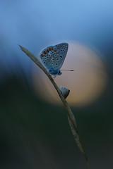 A la lueur d'un soir (rj@ubertsb) Tags: macro nature soleil sony explore papillon couchant insecte tamronspaf90mmf2 rjubertsb