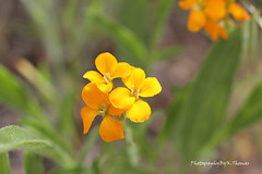 wildflowers (thomask8) Tags: flowers wild summer orange flower color macro green floral canon garden outdoors photography colorado colorful ngc wildflowers photoshopelements naturescenes gardennature simplyflowers mygardenschool