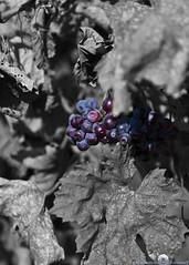 Autumn Grapes (Stephen Ball Photography) Tags: autumn canon virginia photo vineyard shot wine top unique great vine best stephen winery explore grapes prize premier colorsplash digitalphotography barboursville stephenball 5dmarkiii stephenballphotography