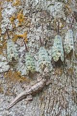 Pyrops oculatus & Frilly Gecko IMG_2829 copy (Kurt (orionmystery.blogspot.com)) Tags: oculatus fulgorid lanternbug fulgoridae lanternfly lanternbugs pyrops lanternflies trophobiosis pyropsoculata pyropsoculatus