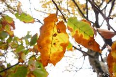 Fagus hayatae Palib. ( ()) Tags: taiwan beech  fagushayatae
