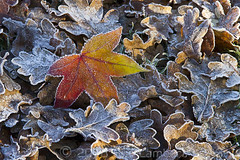 December's frost (Nanooki) Tags: winter plant abstract texture frozen leaf frost december pattern foliage mapleleaf serene nationaltrust oakleaves leaflitter ruleofthirds sheffieldparkgardens organicpattern