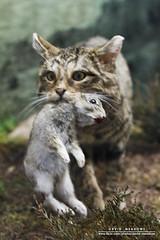 Scottish Wildcat (DMeadows) Tags: davidmeadows dmeadows davidameadows dameadows