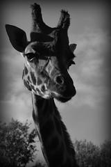 Giraffe (Lomo Faux) (lewistaylor1997) Tags: africa shadow bw animal lomo fake giraffe fauxlomo chesterzoo