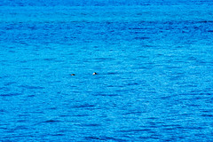 _MG_3859a (markbyzewski) Tags: alaska ugly seaotter glacierbaynationalpark