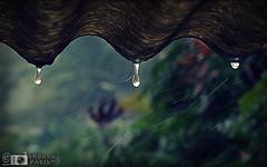rain drops (akshaypatil™ ® photography) Tags: new rain june nice photos shots cam sony some cybershot rainy try cyber hx50v