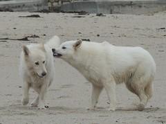 Bretagne - Mer- Chiens- Oiseaux (Le centre Bretagne, a vous gagne) Tags: mer bretagne vagues chiens mouettes lundiplage