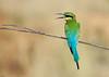 Blue tailed Bee eater (Merops philippinus) (Gurusan2010) Tags: