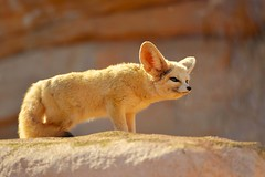Desert Fox (MOHAMED TAZI) Tags: animal photography zoo nikon desert zoom wildlife morocco arab fox wildanimal nikkor dslr mohamed rabat d800 tazi temara 70300mmvr arabphotographer