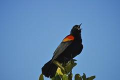 Red-winged Blackbird (Chasing Photons) Tags: nature birds orlando natural florida wildlife charles wait redwingedblackbird agelaiusphoeniceus centralflorida realflorida cewait chasingphotons