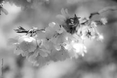 jeu de lumières dans le cerisier en fleurs (Blandine - L) Tags: mars fleurs 50mm bokeh cherryblossom sakura cerisier 2014 beyondbokeh