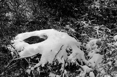 Hard Times on the Nest (Insearchoflight) Tags: newfoundland labrador naturalwonders naturephotography newfoundlandandlabrador difficultdays snownest eaglenesting naturecanbecruel waynenorman viciousstorm followingtheeagle