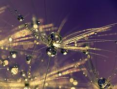 Dandelion (Grayna Paaszewska Photography) Tags: macro dandelion waterdrops dmuchawiec mniszeklekarski graynapaaszewskaphotography