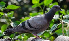 Pigeon (asheshr) Tags: bird nikon pigeon commonpigeon d5100 rockpeigeon