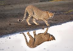 Cheetah Reflection (MyKeyC) Tags: africa tanzania cheetah todd cheetahreflection