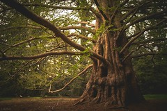 champion tree (Jen MacNeill) Tags: trees tree giant spring pennsylvania branches champion large pa trunk redwood longwoodgardens metasequoia chestercounty dawnredwood kennettsquare jennifermacneill jennifermacneillphotography
