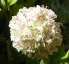 Eriogonum ovalifolium var. nivale 100_0939 (sierrarainshadow) Tags: eriogonum var ovalifolium nivale
