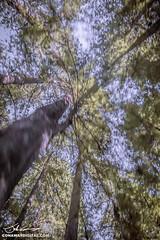 Avenue of the giants (John Conaway _ Art & Design) Tags: trees art digital rural forest photography graphics image creative roadtrip prints products redwood gfx seattleroadtrip johnconaway conaway avenueofthegiants zenphotography avenueofgants