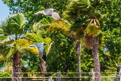 Happy Fence Friday! (Jims_photos) Tags: seagulls birds texas adobephotoshop palmtrees sunnyday adobelightroom texascoast coastalscene fencefriday