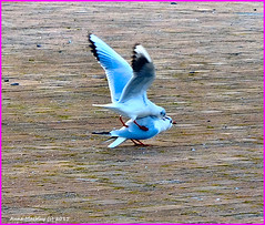 Scotland Greenock a silver gull love bite...giggle...giggle 9 February 2015 by Anne MacKay (Anne MacKay images of interest & wonder) Tags: seagulls by anne scotland greenock picture 9 mackay february 2015