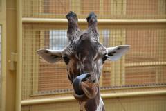 ~~~ (evadejonge) Tags: cute animal tongue zoo blijdorp lick giraffe