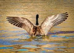 Calling Attention (David Warlick) Tags: lake postprocessed bird water birds waterfowl hdr raleighnc lightroom postprocessing lakelynn photomatix photomatixpro northraleigh