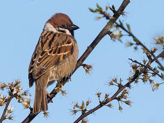 Spring Sparrow No. 3 [Explored 2016-05-04] - Frühlingsspatz Nr. 3 (Joe)