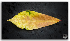 Colorful tropical Almond tree leaf! (KS Photography!) Tags: autumn trees wallpaper orange plant black color green fall beach nature colors leaves yellow rock closeup ink landscape photography golden leaf shimla spring maple october colorful seasons natural outdoor background patterns seasonal decoration almond streetphotography vivid dry seeds textures single type tropical taste deciduous multicolored ornamental tranquil autumnal isolated dyed perennial extract naturephotography beautyinnature defoliation photoborder almondtreeleaf