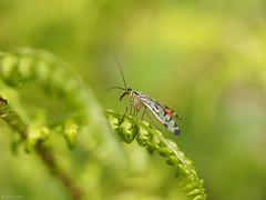 Scorpion fly (jesse_the_ros) Tags: red brown plant black macro nature netherlands animal yellow forest insect photography fly spring woods outdoor exploring may olympus scorpion explore resting breda wandering animalia arthropoda liesbos insecta mecoptera antliophora panorpida
