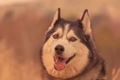 Timber (Cruzin Canines Photography) Tags: portrait dog pet pets color male dogs animal animals closeup canon mammal husky timber canine domestic siberianhusky tamron alaskanhusky hartpark domesticanimal 5ds canon5ds eos5ds tamron28300mmf3563divcpzd canoneos5ds